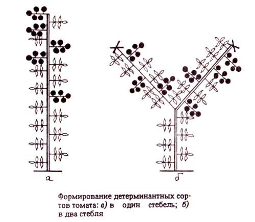 Молодые растения выращиваемые в защищенном грунте