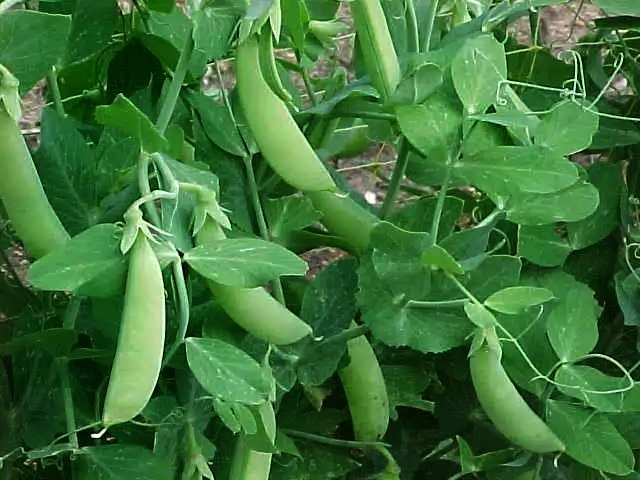 выращивание овощного гороха на балконе и лоджии