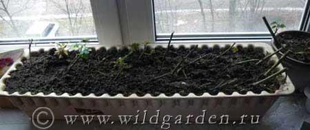 Черенкование роз зимой в домашних условиях