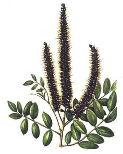 Wild Backyard Herbs : ?????? ?????????????  AMORPHA FRUTICOSA