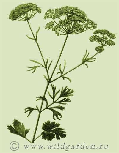 Wild Backyard Herbs : ???? ????????????  ANISUM VULGARE GAERTH