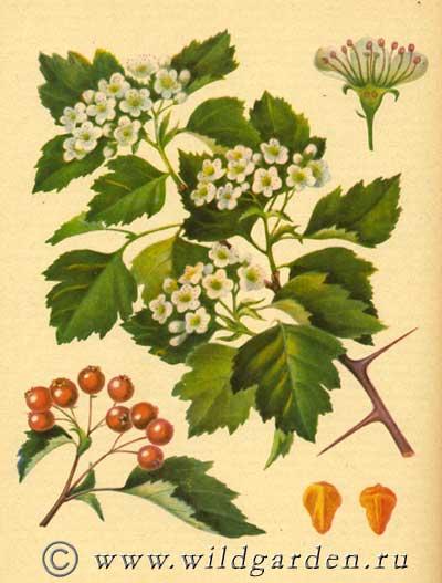 Wild Backyard Herbs : ????????? ??????????????  CRATAEGUS SANGUINEA