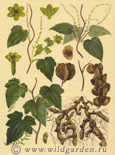 Wild Backyard Herbs : ????????? ??????????  DIOSKOREA CAUCASICA