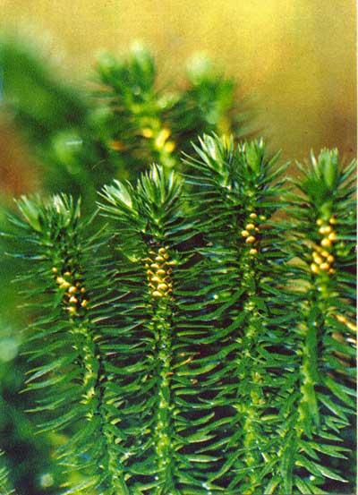 Wild Backyard Herbs : ??????? ????????????  ????????????