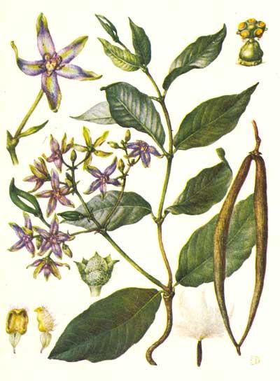 Wild Backyard Herbs : ???????? ?????????  PERIPLOCA GRAECA