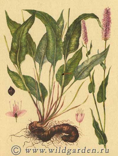 раковая шейка растение фото