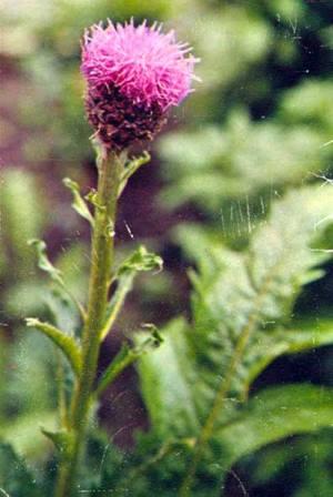 Wild Backyard Herbs : ?????? ?????????????, ??????? ??????