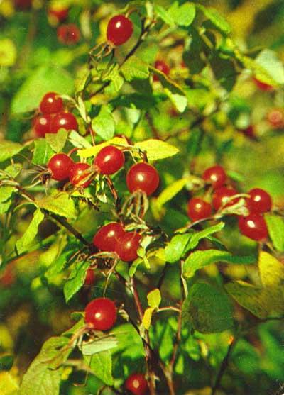 Wild Backyard Herbs : ???????? ????????  ROSA DAVURICA