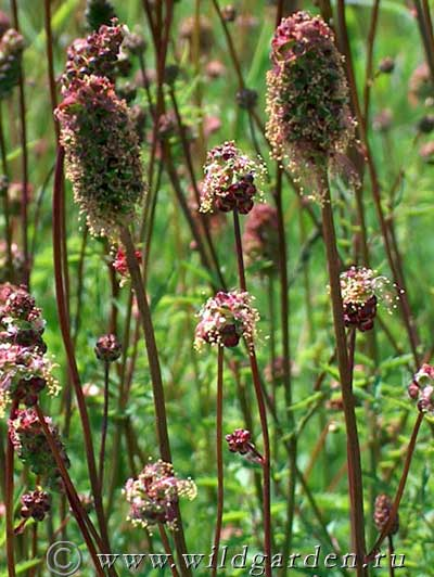 Wild Backyard Herbs : ??????????? ?????????????  SANGUISORBA