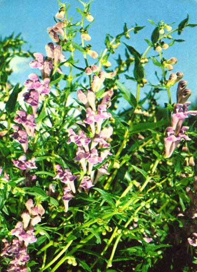 Wild Backyard Herbs : ??????? ???????????  SCUTELLARIA