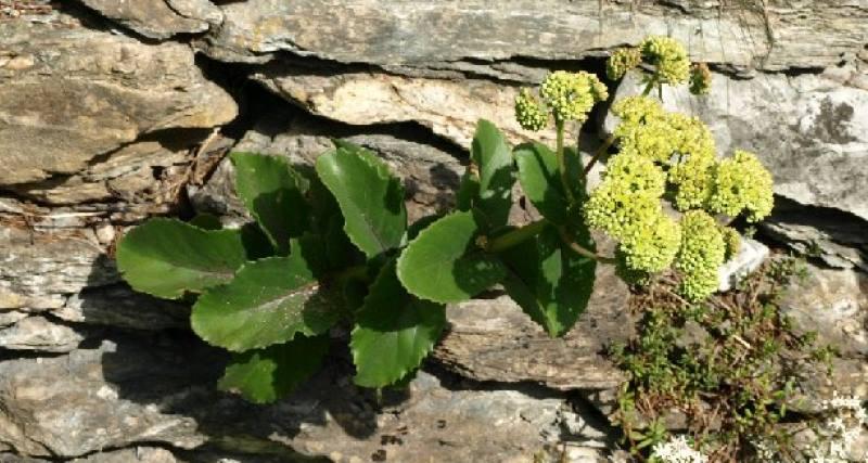 Wild Backyard Herbs : ?????? ???????  SEDUM MAXIMUM SUTER