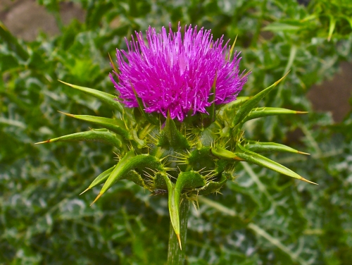 Wild Backyard Herbs : ?????????? ????????? (??? Silybum marianum