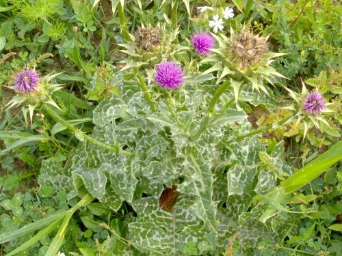 Wild Backyard Herbs : ?????????? ?????????  SILYBUM MARIANUM