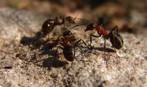 Вид, сообщество, семья у муравьев: ivanov_petrov