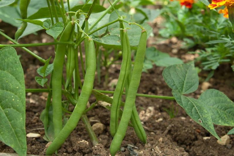 Как вырастить фасоль в домашних условиях: пошаговое руководство