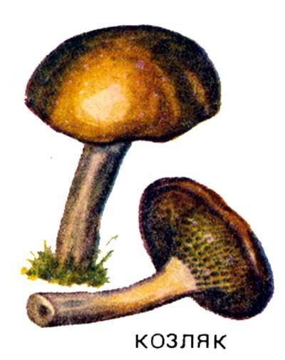 Трубчатый гриб порядка болетовых