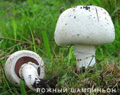 грибы шампиньоны фото и описание ложные