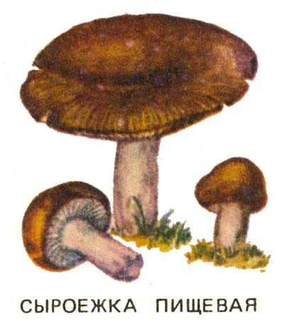 грибы сыроежка фото и описание