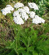 тысячелистник обыкновенный, Achillea millefolium