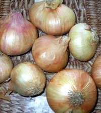 лук репчатый, Allium cepa