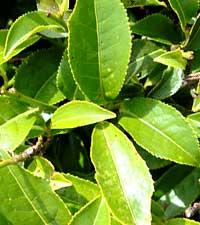 чайный куст, Camellia sinensis