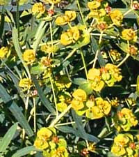 молочай прутьевидный, Euphorbia virgata