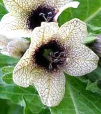 белена черная, hyoscyamus niger