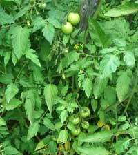 помидор съедобный, Lycopersicum esculentum