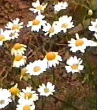 ромашка аптечная, Matricaria recutita