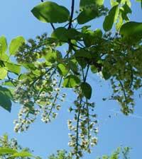 черемуха обыкновенная, Padus racemosa