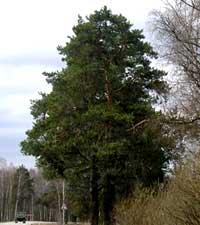 сосна обыкновенная, Pinus silvestris