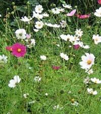 ромашка кавказская, Pyrethrum roseum