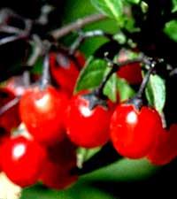 паслен сладко-горький, Solanum dulcama