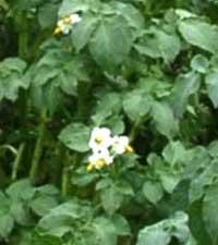 картофель, solanum toberosum