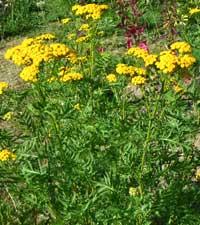 пижма обыкновенная, tanacetum vulgare