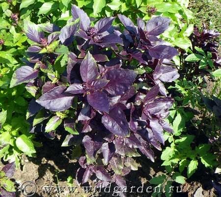 Растение базилик: выращивание из семян в открытом грунте
