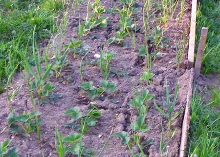 посадка садовой земляники с чесноком