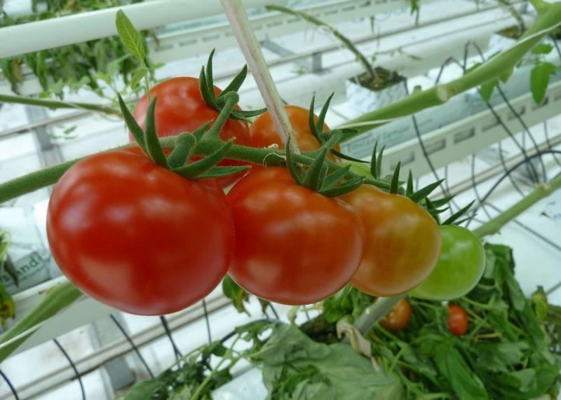 транспортер томатов