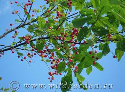 черемуха, ягоды черемухи