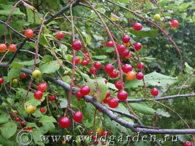 ягоды черемухи фото