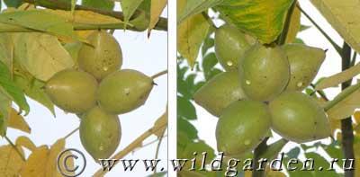 плоды манчжурского ореха осенью
