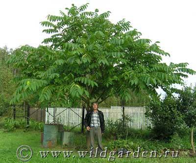 фото дерева маньчжурского ореха