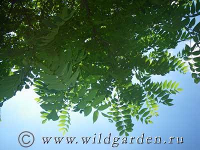 листва манчжурского ореха