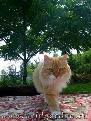рыжая кошка Данка