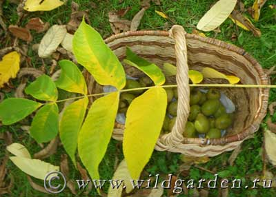 урожай манчжурского ореха