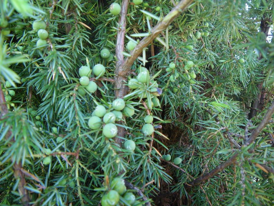 ягоды можжевельника