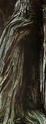 крымский можжевельник