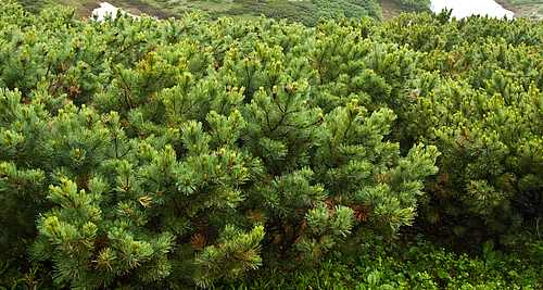 кедровый стланик, стелющееся дерево, сосна стланиковая