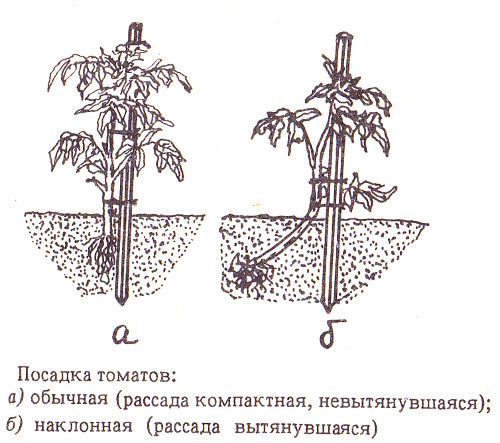 Схемы посадки томатов