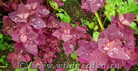 Атриплекс садовый красное перо посадка и уход в открытом грунте